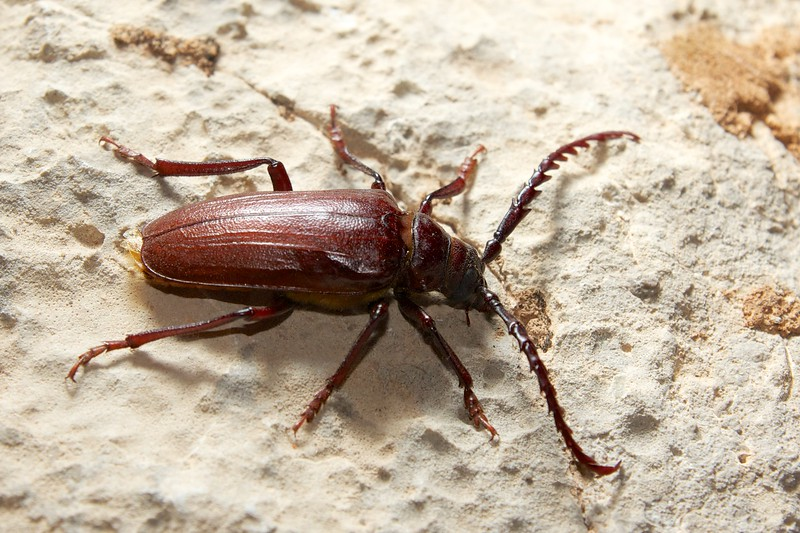 big_wood_beetle 404.jpg