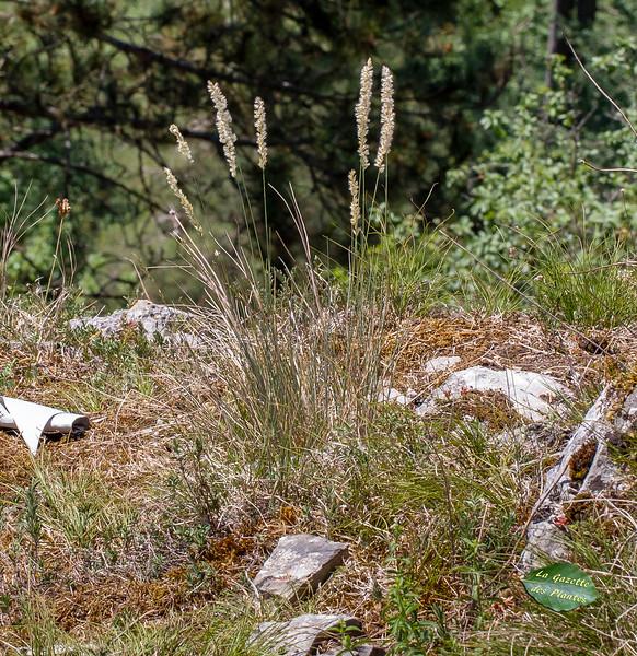 Mélique ciliée (Melica ciliata)