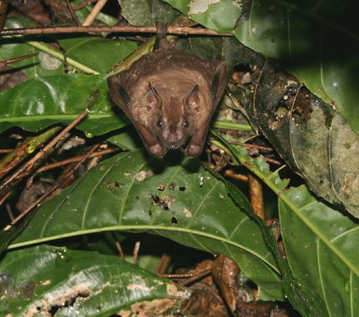 Bat Costa Rica
