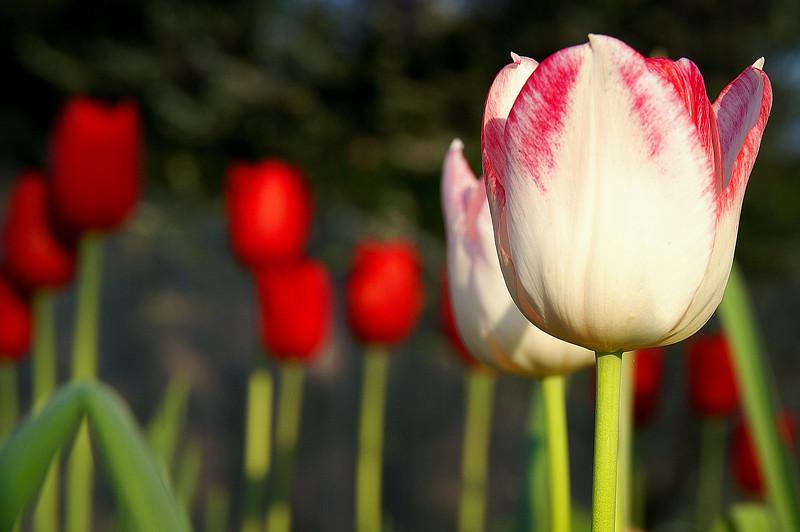 tulip 4x6.jpg