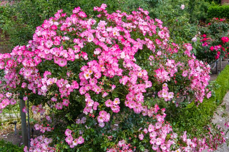 Filoli_Roses-19.jpg