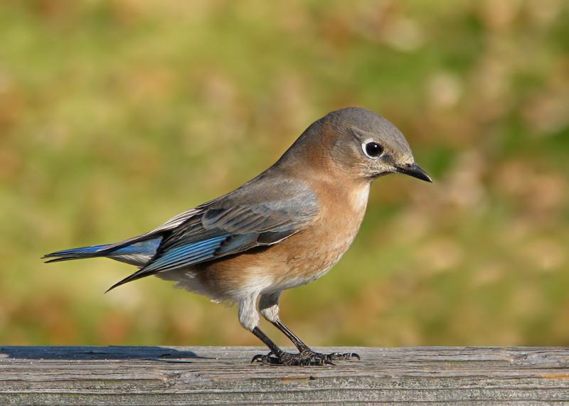 bluebird_4031.jpg
