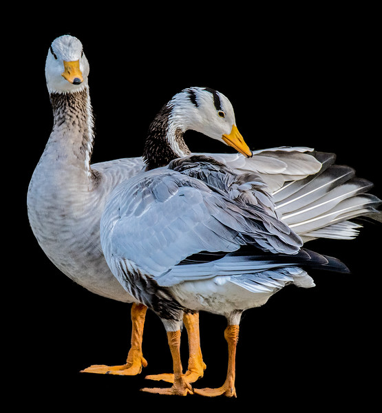 Bar-headed Goose cleaning plumage