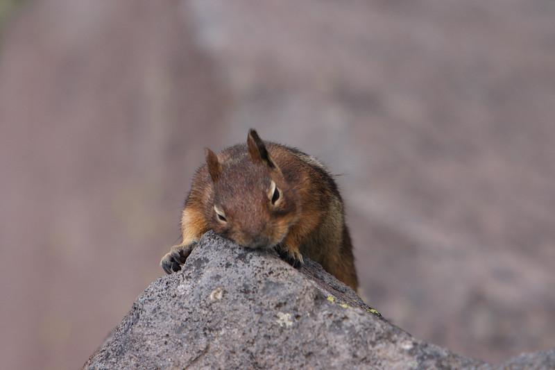 Tired Chipmunk