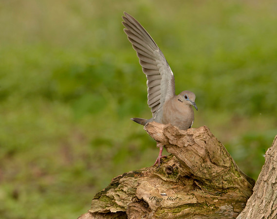 Dove wing_DWL3130.jpg