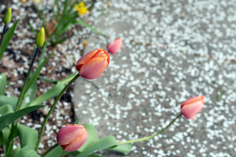tulipsnpetals2.jpg