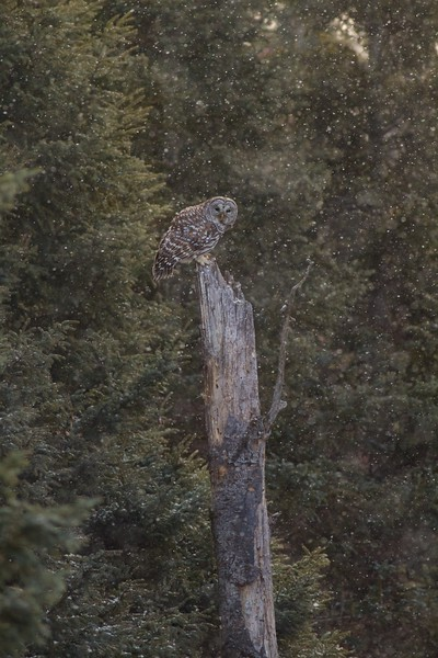 Barred Owl Peary Road near Yellow-bellied Bog Sax-Zim Bog MN IMG_7695.jpg