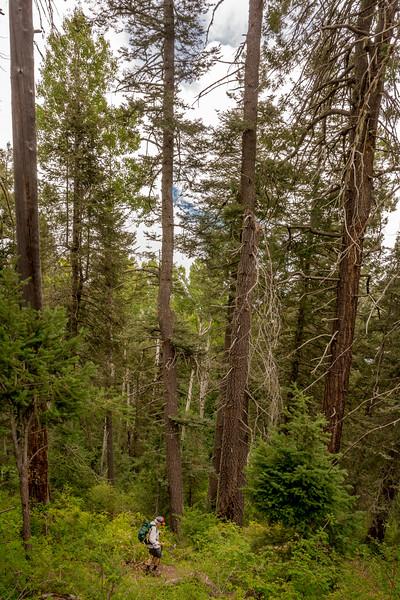 Mt Lemmon Old Growth #11