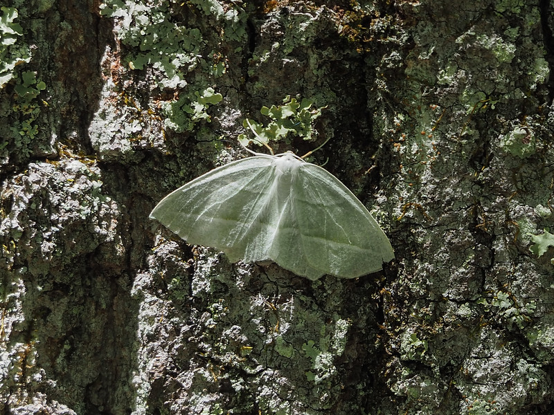 Campaea perlata - Pale Beauty - Hodges: 6796