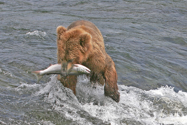 Bears at Brooks Falls-2004