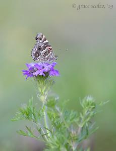 American Lady Butterflies