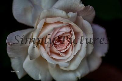 roses  028