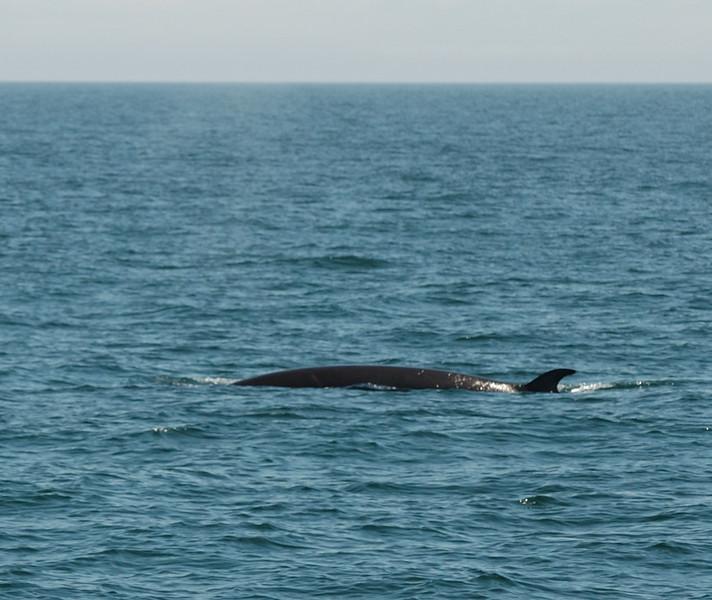 Minke Whale!
