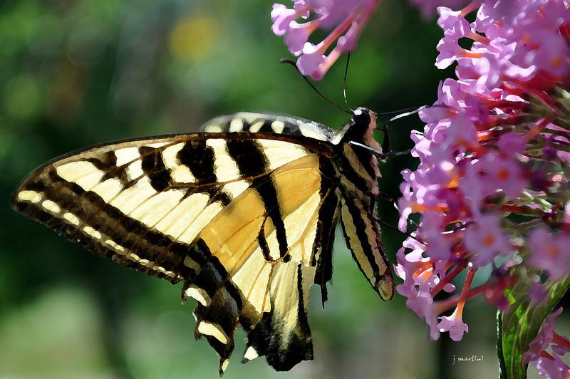 tiger wings 7-30-2011.jpg