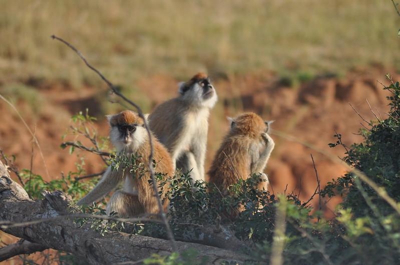 Patas Monkeys