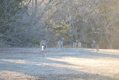 01-12-2016 deer at Elk City