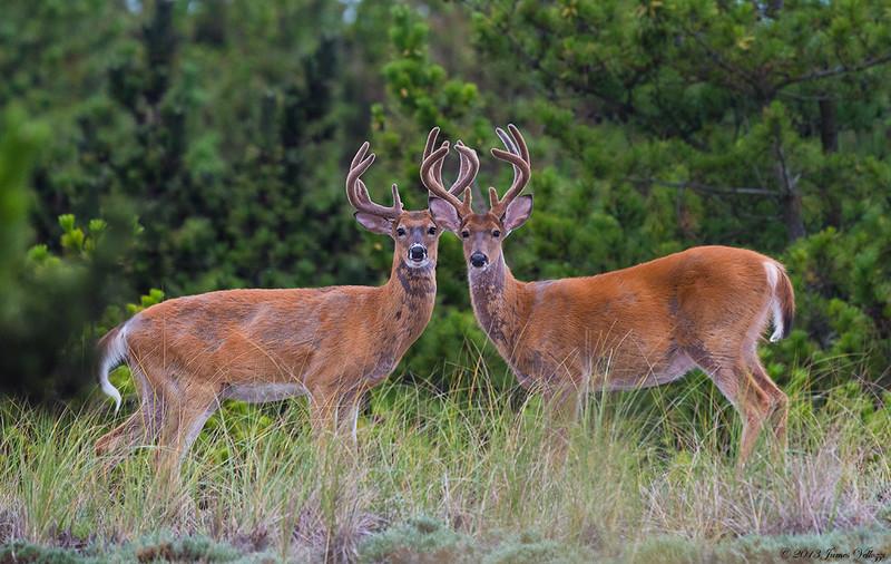 White-tailed-Deer310813A.jpg