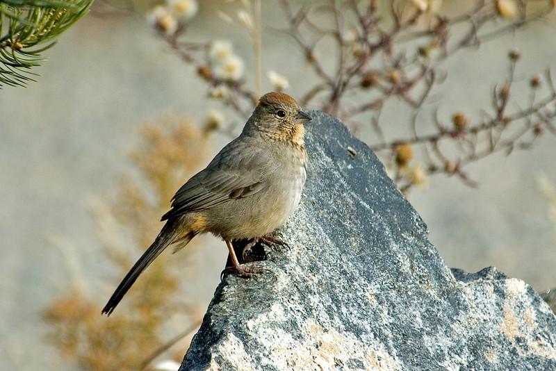 Towhee - Canyon - Audubon Center - Santa Fe, NM
