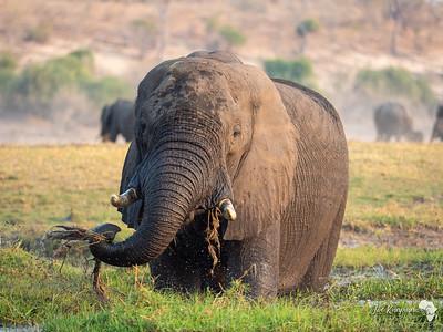 Bull elephant in the Chobe