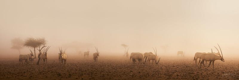Arabian Oryx (28).jpg
