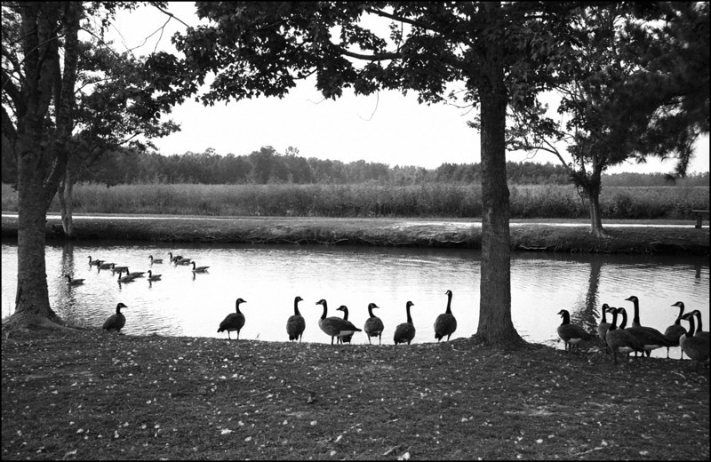 Geese on a pond