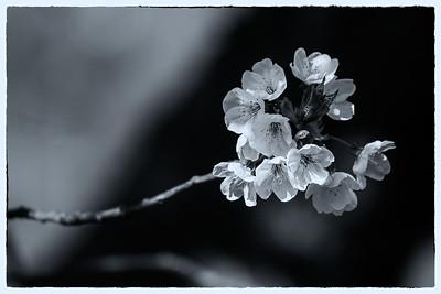 Cherry Blossoms BW