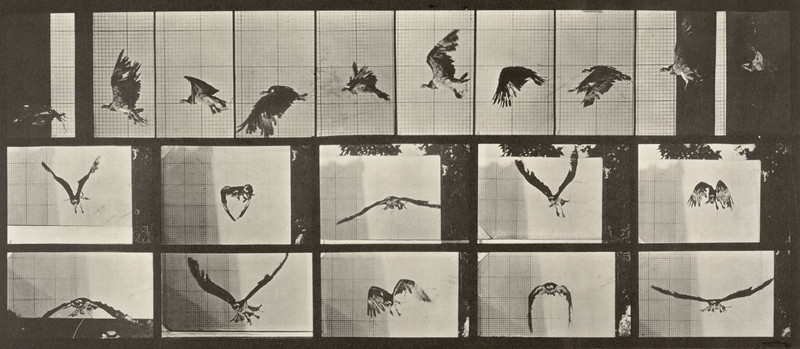 Fish hawk flying (Animal Locomotion, 1887, plate 764)