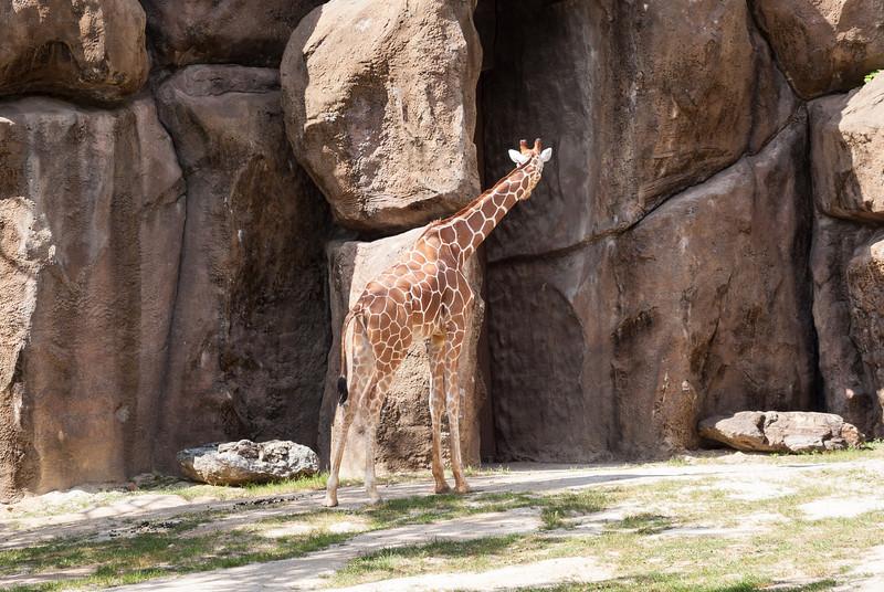 giraffe-2.jpg