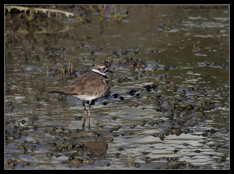 Killdeer, San Elijo Lagoon, San Diego County, California, March 2010
