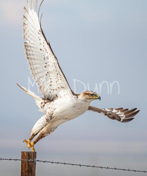 Ferruginous Hawk-147