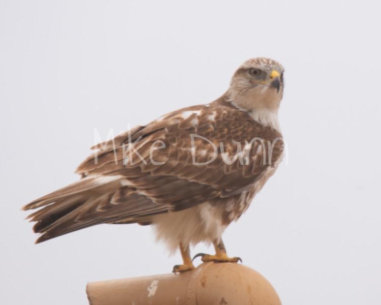 Ferruginous Hawk-77