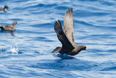 2012 November 24 Wollongong Pelagic