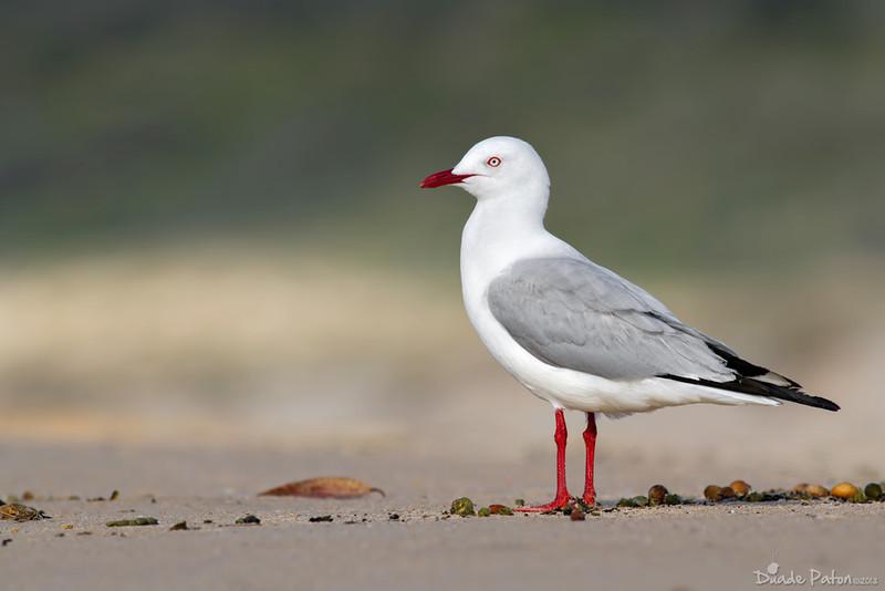 125-Silver-Gull-Lake-Tabourie,NSW-171012.jpg