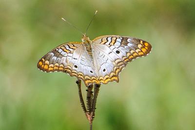 Jan 6, 2013 - Florida Butterflies