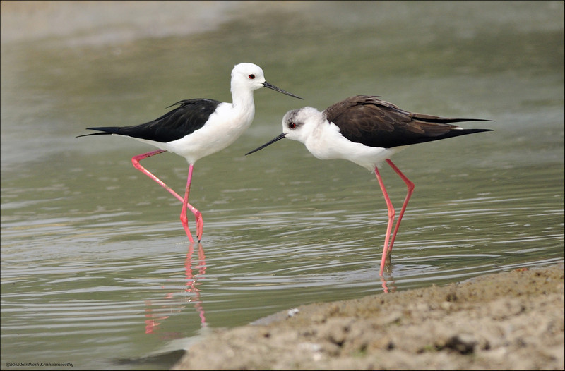 Black winged Stilts