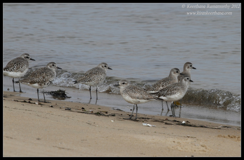 Black-bellied Plovers, Coronado Ferry Landing, San Diego County, California, February 2012
