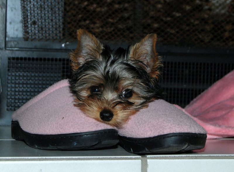 019 Jewels the Yorkshire Terrier 12 weeks
