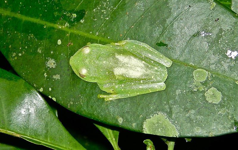 Amazonian Glass Frog (Cochranella ritae)