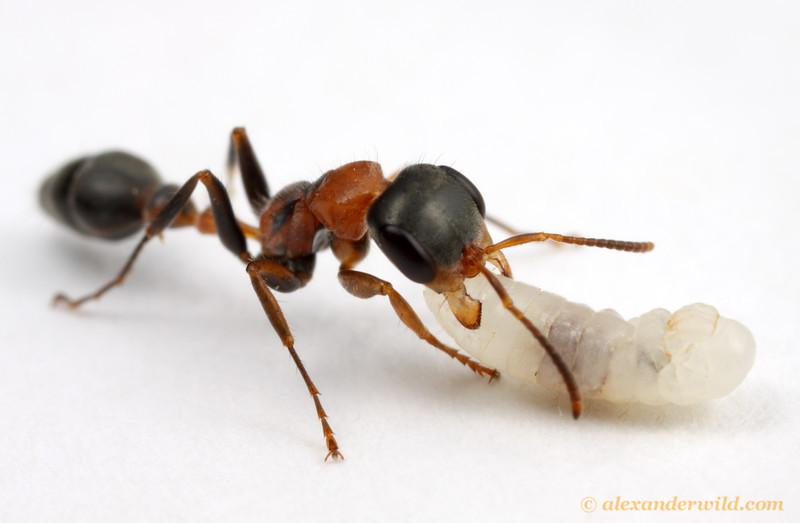 Pseudomyrmex gracilis, with larva.  Archbold Biological Station, Florida, USA