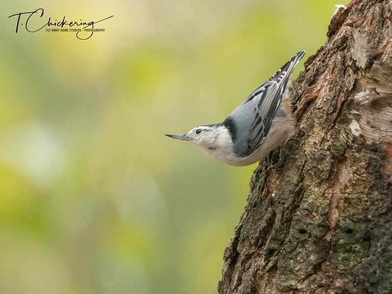 White Breasted Nuthatch Two.jpg