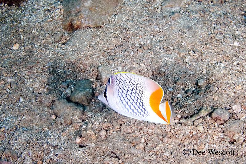 Crosshatch Butterfly 2.jpg