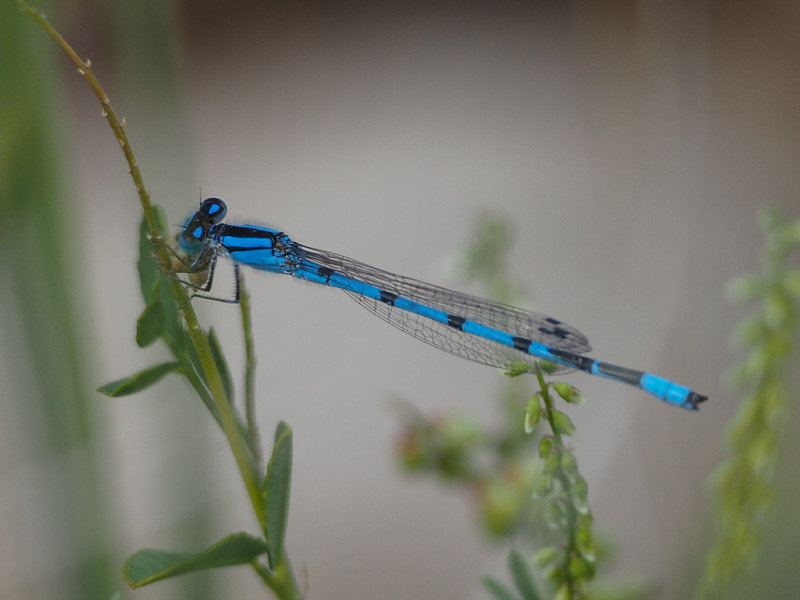 Northern Bluet, male