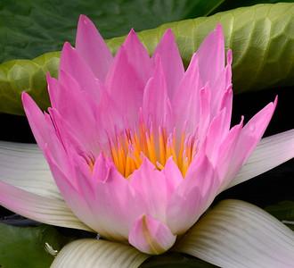 Hidden Treasures:  The Water Lillies of Longwood Gardens
