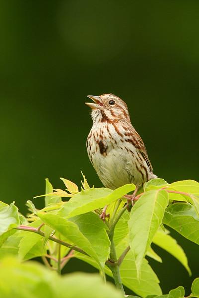 Song Sparrow - Pennsylvania