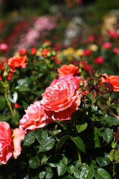 Portland International Rose Test Garden  2211.jpg