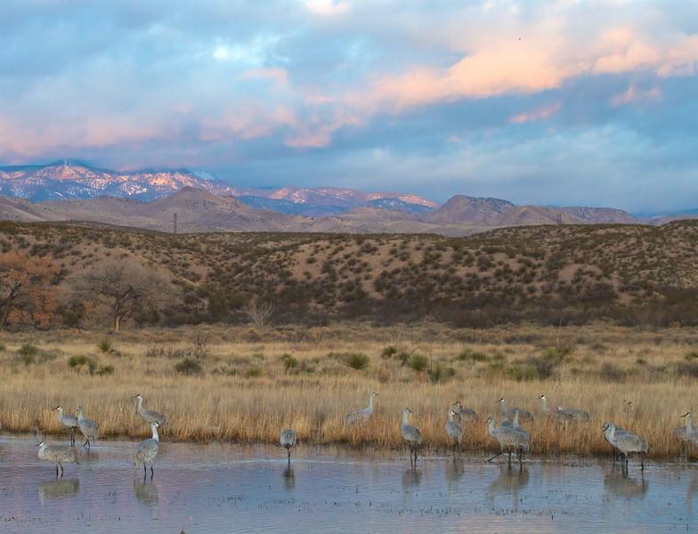 Sandhill Crane Bosque del Apache NWR Socorro NM IMG_0007337.CR2.jpg