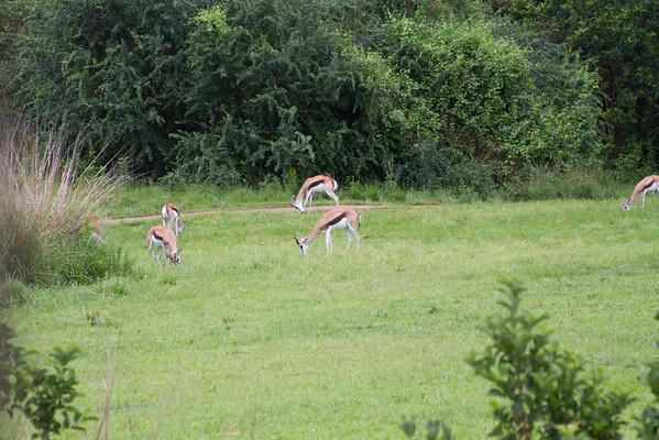 Harambe Safari