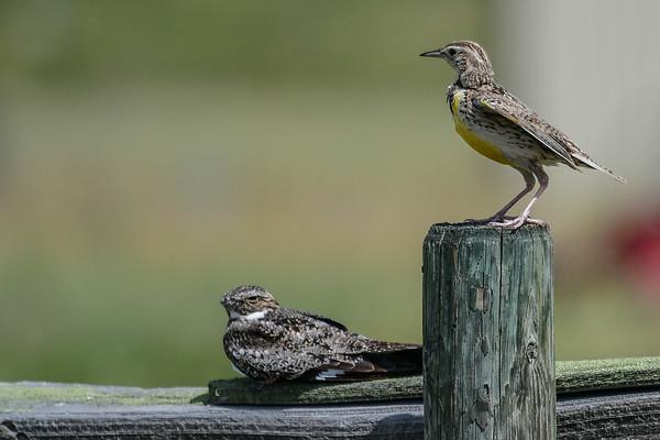 6-30-17 Western Meadowlark & Night Hawk