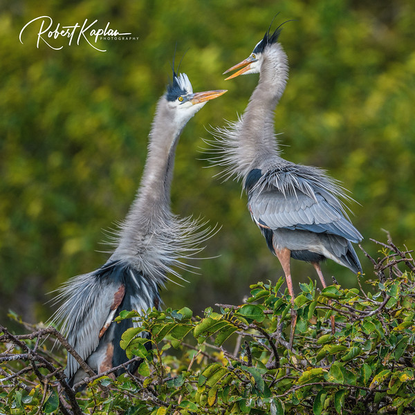 Great Blue Heron-9867.jpg