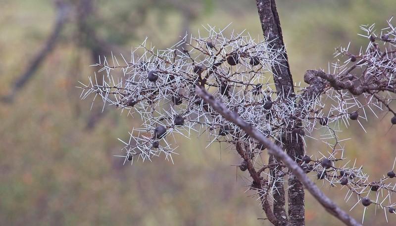 Whistling Acacia, Naboisho Conservancy